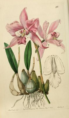 Edwards' botanical register, or, Ornamental flo...