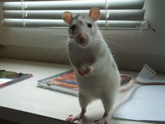 Amazing rat. He's like Remy from Ratatouille