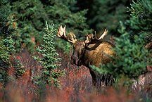 Idaho Panhandle National Forest- Moose- MEGA BIG animals, but so magestic. Seen one up close and personal.