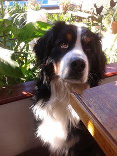 Our beautiful Bernese Mountain Dog, Moro // Nuestro hermoso Boyero de Berna, Moro. @miriam2249 @santiber #bmd