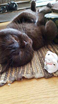 Gabana british shortair chocolat et son porte bonheur
