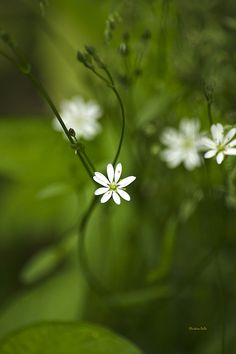 Wildflowers - Giant Chickweed by Christina Rollo. Beautiful tiny white flowers on a Giant Chickweed (Myosoton aquaticum) plant with swirling stems and lush green background. Giant Chickweed grows in moist habitats in part shade, thickets, and around shores.   SHOP MY COMPLETE COLLECTION AT:  www.rollosphotos.com