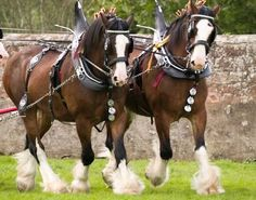 The beautiful Clydesdales at Grant's Farm, St. Louis, MO