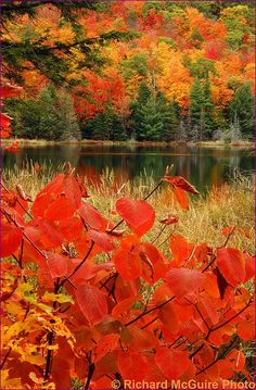 Coloured leaves in autumn at Lac Fortune, Gatineau Park, Quebec, just outside Ottawa, Canada.