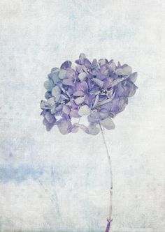 Blue Vintage Hydrangea Art Print More