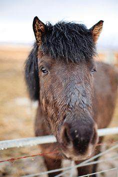 roadside horses in Iceland