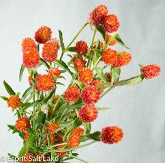 Godethia orange