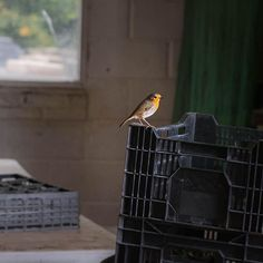 Our potting shed visitor is back ... #Robin