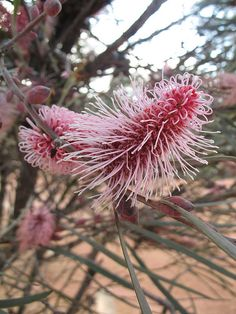 Hakea francisiana ispart of the Proteaceae family. This species is a native of Western Australia and is sometimes known as the Red Spike Hakea.