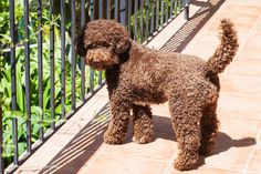 Lagotto Romagnolo on Riviera Dogs ...