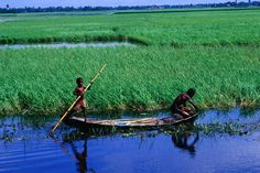 Farmer weeding around crop of dead water rice on the Meghna River, Sonargaon, Dhaka, Bangladesh