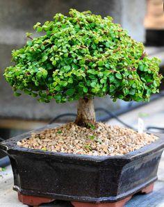 Bonsai porturakaria