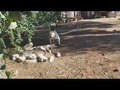 Rafael American bulldog wierd