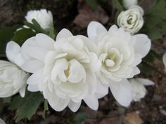 """Double Flowered Bloodroot Sanguinaria canadensis """"Flore pleno'  zone 3"""