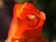 Orange rosebud unfurling in the autumn sunlight taken close up with a macro lens. #tw #flowersofinstagram #flowerstagram #mygarden #closeup #macro_freaks #macrophotography #macro #macrolens #rose #flower #closeup #mygarden