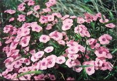 Israel, The blooming land  by Shulamit Levin - Pink Pishta -   These flowers are from the mountain of Pilots near Jerusalem - http://www.worldisround.com/articles/6858/photo8.html