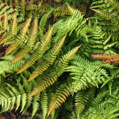 Buy Dryopteris from Duchy of Cornwall Nursery! Your Dryopteris erythrosora var. prolifica AGM can be bought with over 3000 varieties of other garden plants, fruits and gifts. Foliage Plants, Cactus Plants, Garden Plants, House Plants, Leaf Flowers, White Flowers, Planting Plan, Variegated Plants, Shade Garden