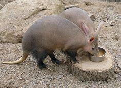 jordsvin, aardvark