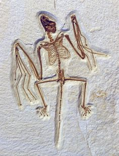 Bat fossil, more than 50 million years old