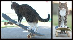 CAT Super Skateboarding Adventure! Go Didga! (ORIGINAL) http://www.onegreenplanet.org/animalsandnature/didga-skateboard-cat-video/