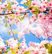 Find the best Spring wallpaper on WallpaperTag. Flower Phone Wallpaper, Mobile Wallpaper, Flowers Nature, Spring Flowers, Ikebana, Cherry Blossom Japan, Spring Wallpaper, Beautiful Flowers Wallpapers, Peach Blossoms