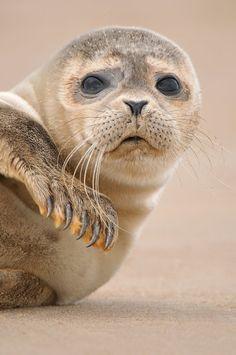 Seal Pup--awww, look at that face! Vida Animal, Mundo Animal, Cute Baby Animals, Animals And Pets, Funny Animals, Wild Animals, Beautiful Creatures, Animals Beautiful, Regard Animal