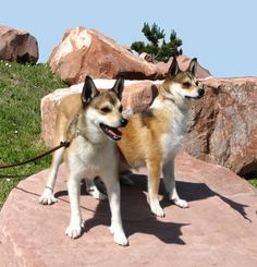 Warning!  Dog breed geekery ahead!  I just love these little guys.  They are Norwegian Lundehunds and they are a lovely, unique breed.  Check out the six-toed paws!