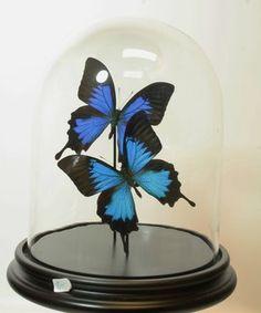 €165 2 Opgezette Blauwe Vlinders Onder Stolp