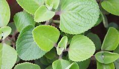 Rýmovníkový sirup recept | Eshop Bylinkářství Plant Leaves, Health, Plants, Health Care, Plant, Planets, Salud