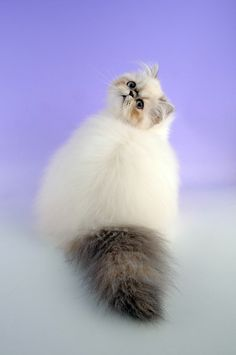 since 5 years old I always ask to my Dad to have a Himalayan Cats, and 10 years later I'm still want this ah-dor-able cat