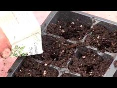 How to Start Seeds Indoors at Home -- In a month you can start your seeds for tomatoes, peppers and more.  This video will show you how.  Right now you can start seeds indoors for lettuce, kale, and all the other greens.  Directly sow seeds for beets, spinach, and peas right into the soil by March 15th.