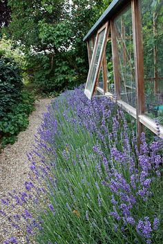 Pea gravel walks lined with Lavender