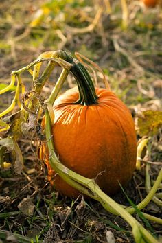 Fall Pumpkins, Halloween Pumpkins, Fall Halloween, Grow Pumpkins, It's The Great Pumpkin, A Pumpkin, Pumpkin Picking, Autumn Day, Autumn Leaves