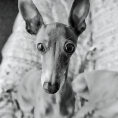 Chloe so beautiful (as are all Italian Greyhounds!)