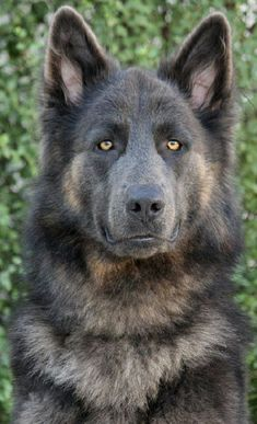 So beautiful! So alluring! So Strong The German Shepherd! #GermanShepherd