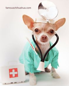 doctor chihuahua :)