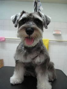 Image result for schnauzer hairstyles White