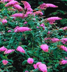 "Buddleia davidii ""Pink Delight"""