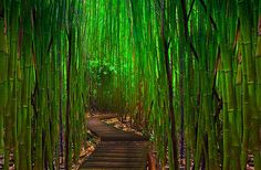 Maui Along The Hana Highway In The Bamboo Forest. Photo by Kevin McNeal.