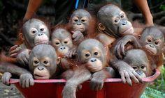 Orang-utans wheeled around in a barrow at rescue centre