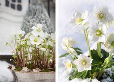 Julerose tåler å stå ute selv om det er noen få kuldegrader //  The Helleborus Christmas flower is beautiful!