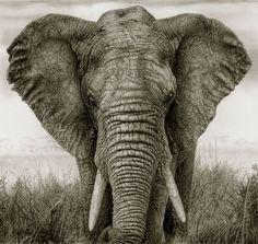 Elephant, pencil on paper - PROTECTING WILDLIFE- STOP Hunting,Endangered,Habitat destruction,Ivory trade