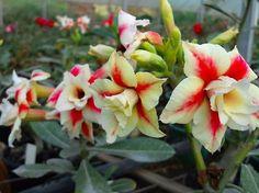 Rosa do Deserto Creme c/ Vermelho flor dupla Enxertada - Jardim Exótico - O maior portal de mudas do Brasil.