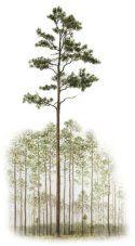 Oak Tree Drawing Watercolor Painting Savannah Candler Oak