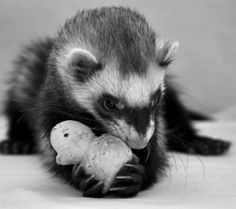 Ferret holds a baby duck