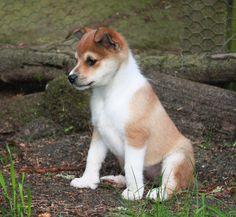 Super cute norwegian lundehund