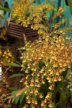 Oncidium sphacelatum - Flickr - Photo Sharing!
