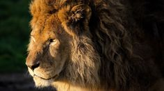 real lion head picture