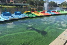 Hydrogen peroxide has been poured into the Torrens lake in the heart of Adelaide in a trial aimed at reducing blooms of blue-green algae.  It is the first time the chemical, which is found in cleaning products, has been used in Australia as an algal control in a recreational lake. from www.abc.net.au