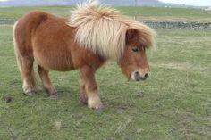 Le célèbre Poney Shetland !